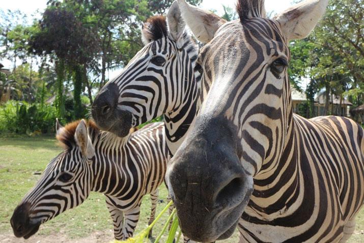 zebra_social