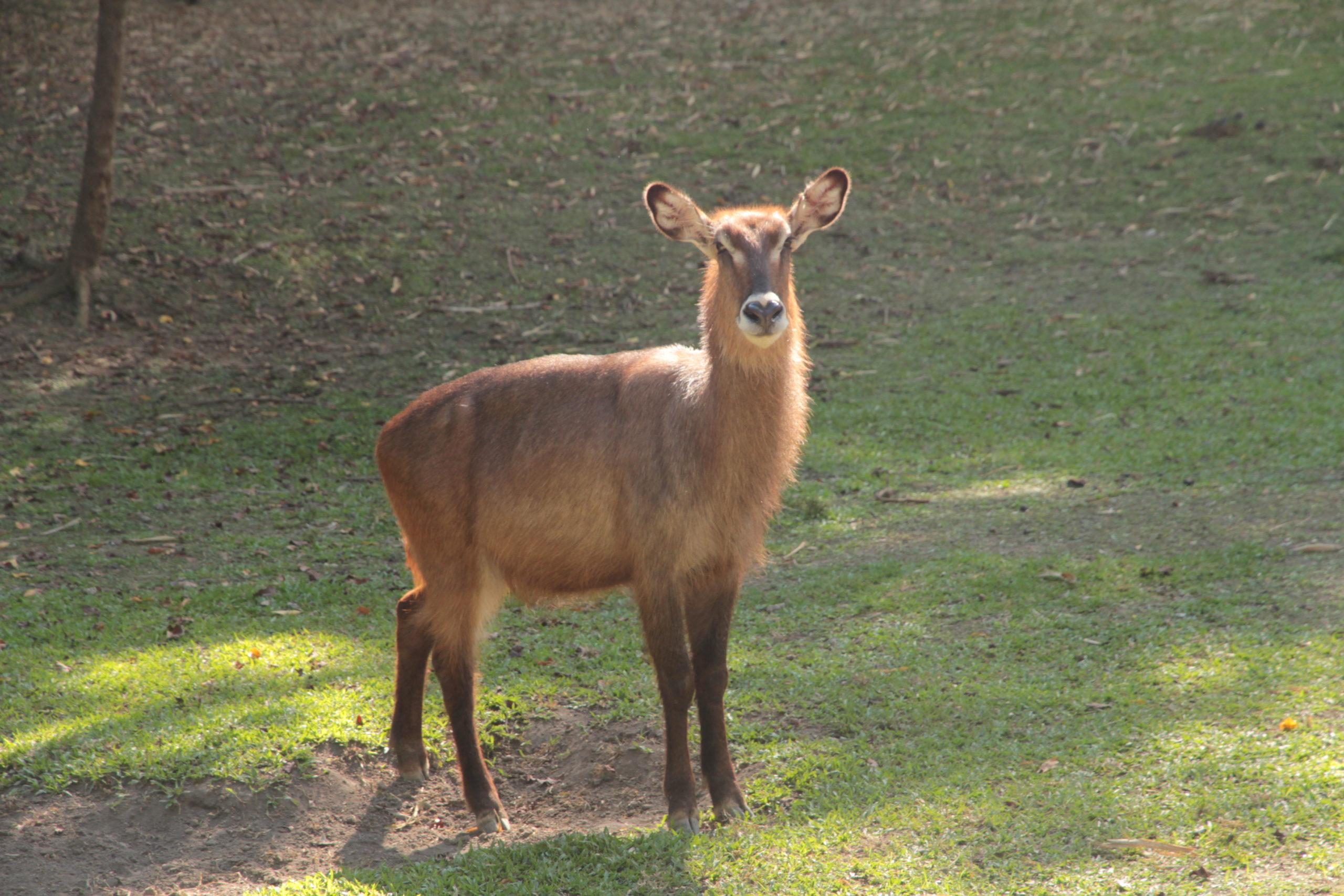 waterbuck in bali safari