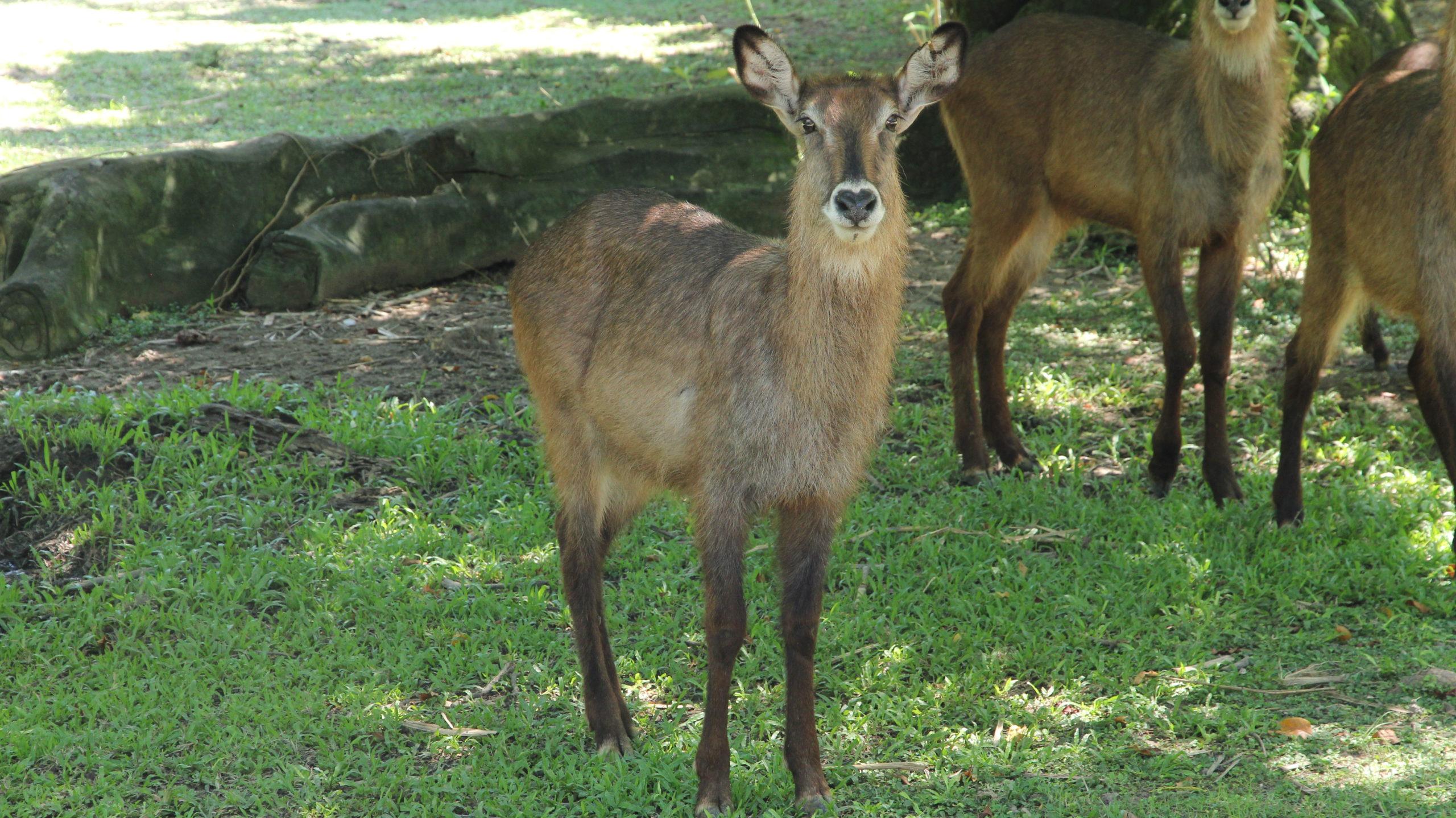 waterbuck in balisafari
